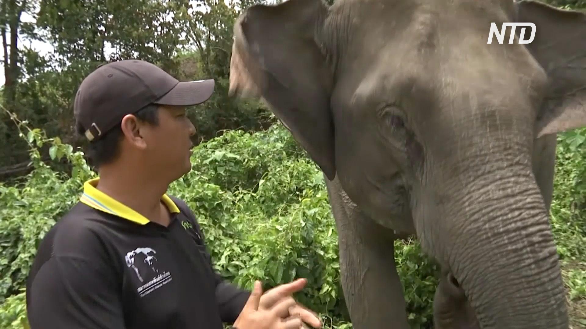 Тайские ветеринары следят за здоровьем слонов, оставшихся без работы во время пандемии