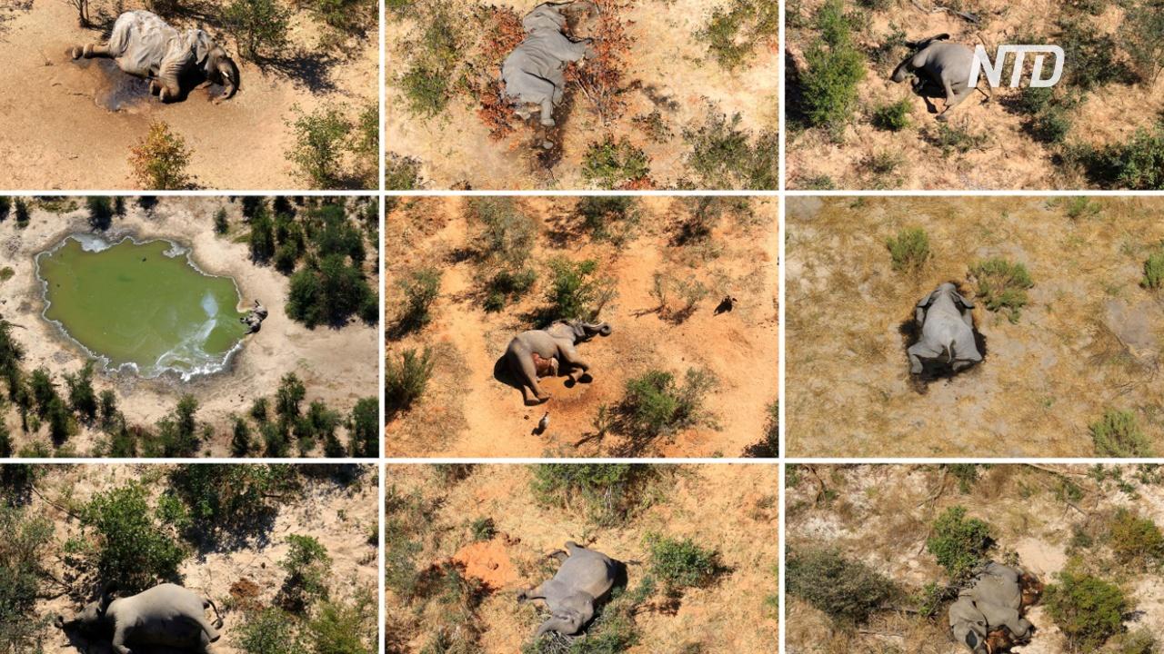 Учёные пытаются выяснить причину массовой гибели слонов в Ботсване