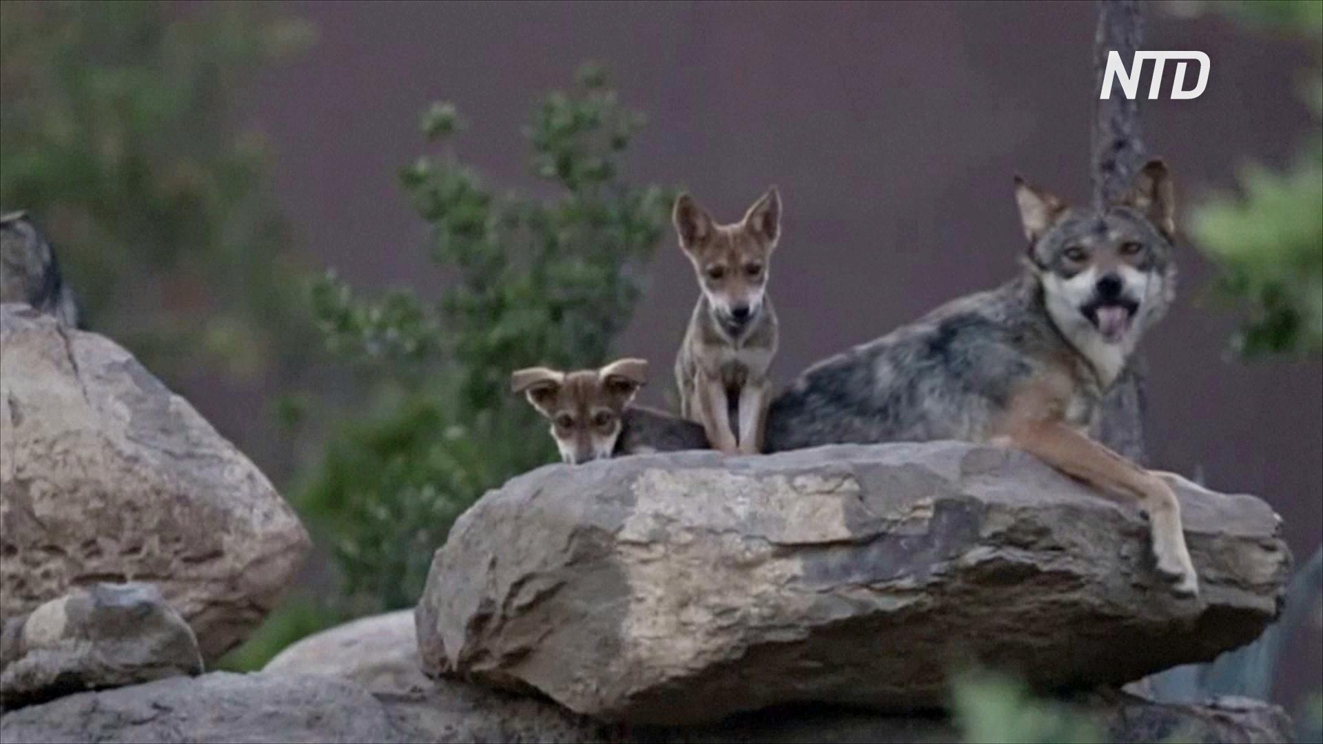 Щенков редкого мексиканского волка показали в Музее пустыни в Сальтильо