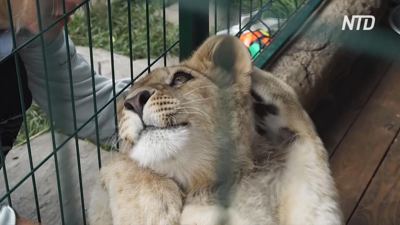 Спасённого львёнка Симбу вернули к жизни в приюте Челябинска