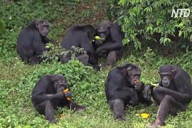 Райский уголок шимпанзе посреди озера: как в Уганде спасают приматов