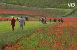 Равнина в Умбрии покрылась цветущими маками и васильками