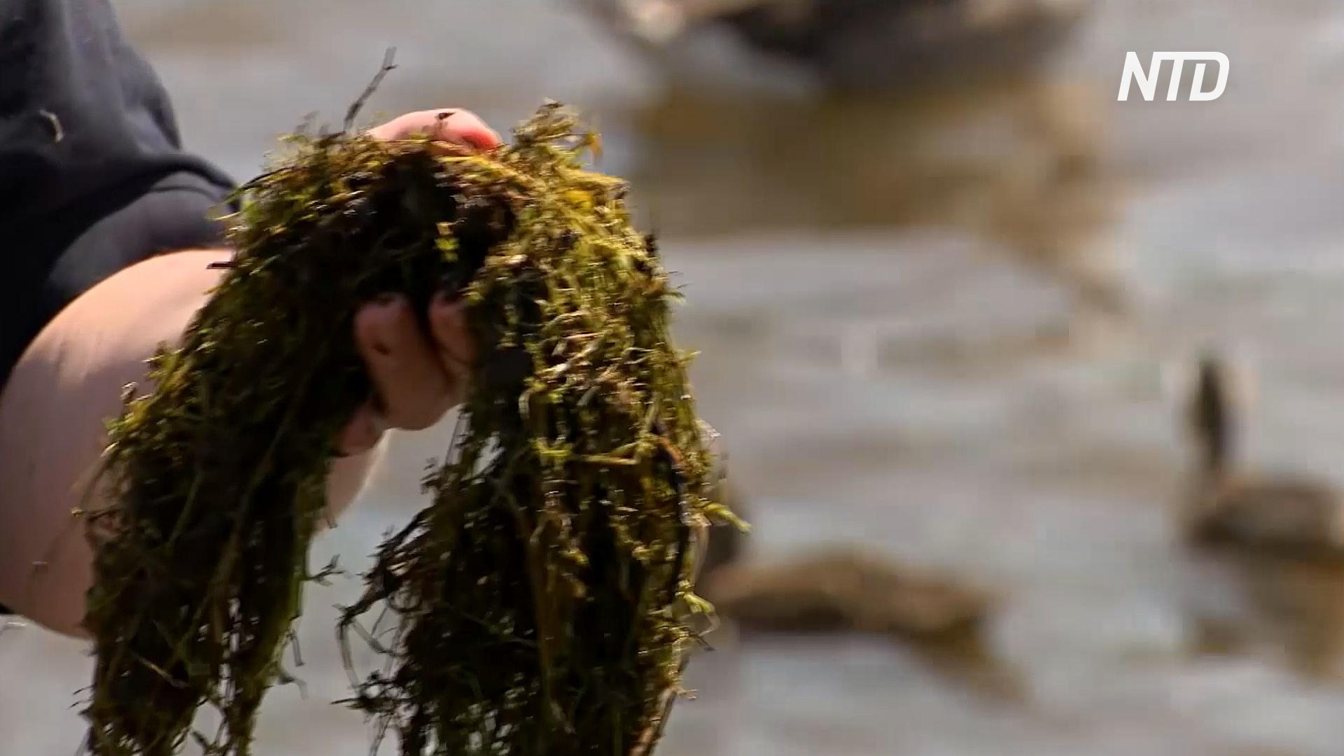 Британские озёра наводняет агрессивная толстянка Хелмса
