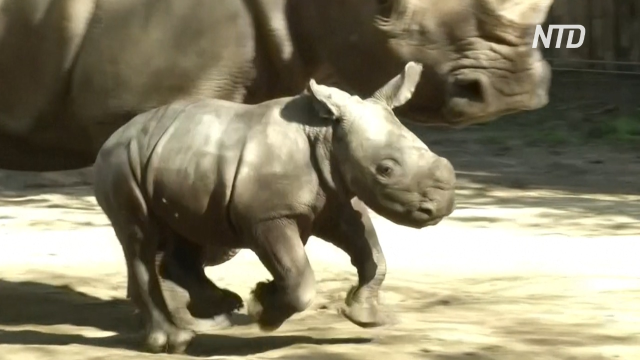 Прибавление во время пандемии: зоопарк в Чили приветствует рождение белого носорога