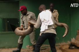 Международный день змеи: как этих рептилий охраняют в Уганде