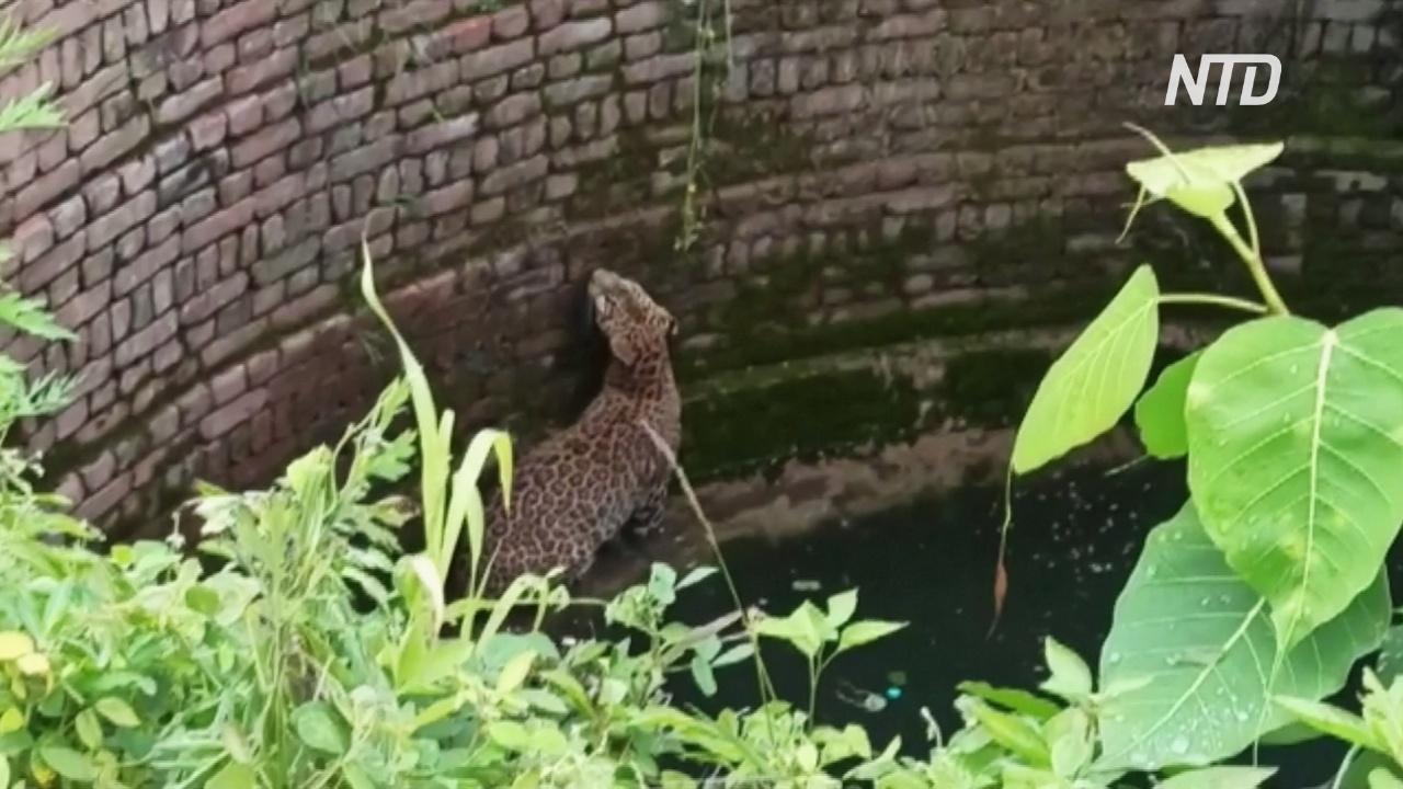 Лесничие в Индии спасли свалившегося в колодец леопарда