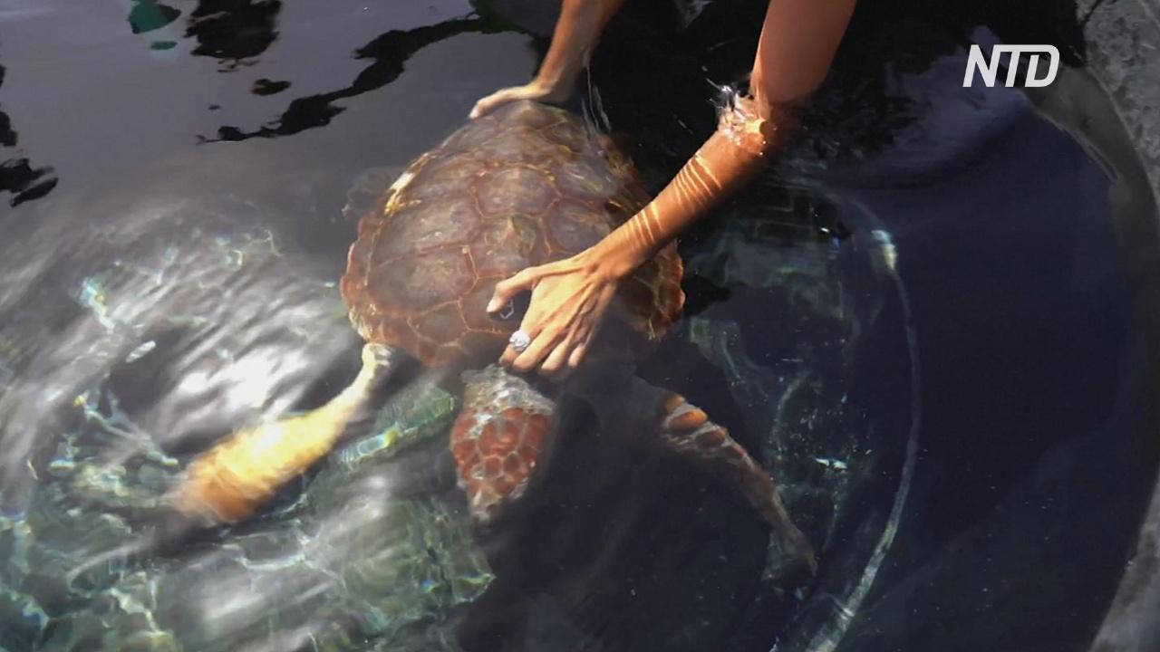 На Канарских островах отпустили в океан спасённую редкую черепаху