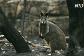 Из-за пожаров в Австралии пострадали либо погибли 3 млрд животных