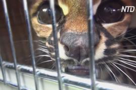 В Колумбии хищных кошек вызволяет из опасных ситуаций природозащитная госслужба