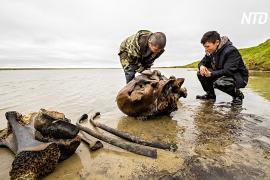 На Ямале нашли хорошо сохранившиеся останки мамонта