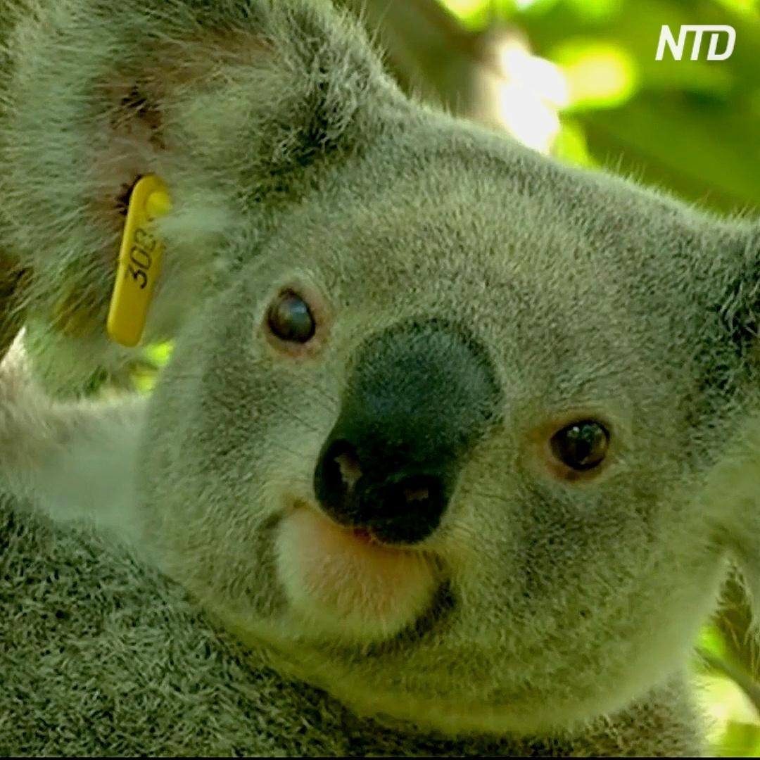 Один из штатов Австралии может лишиться коал уже через 30 лет