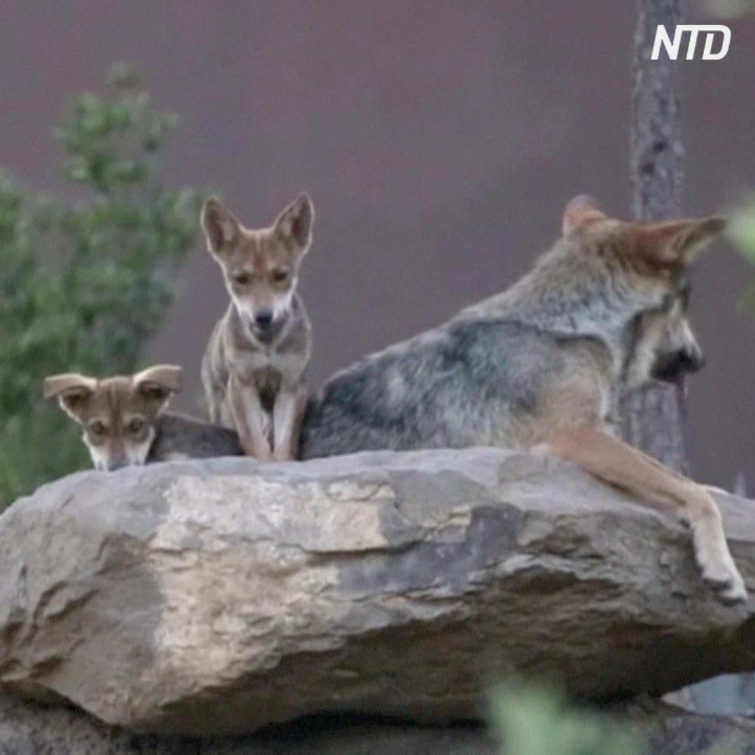 Редкие мексиканские волчата резвятся в Музее пустыни