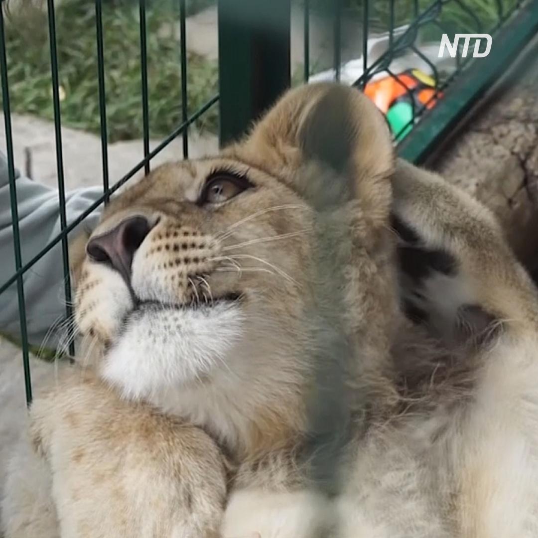 «Айболит из Челябинска» выходил спасённого львёнка Симбу