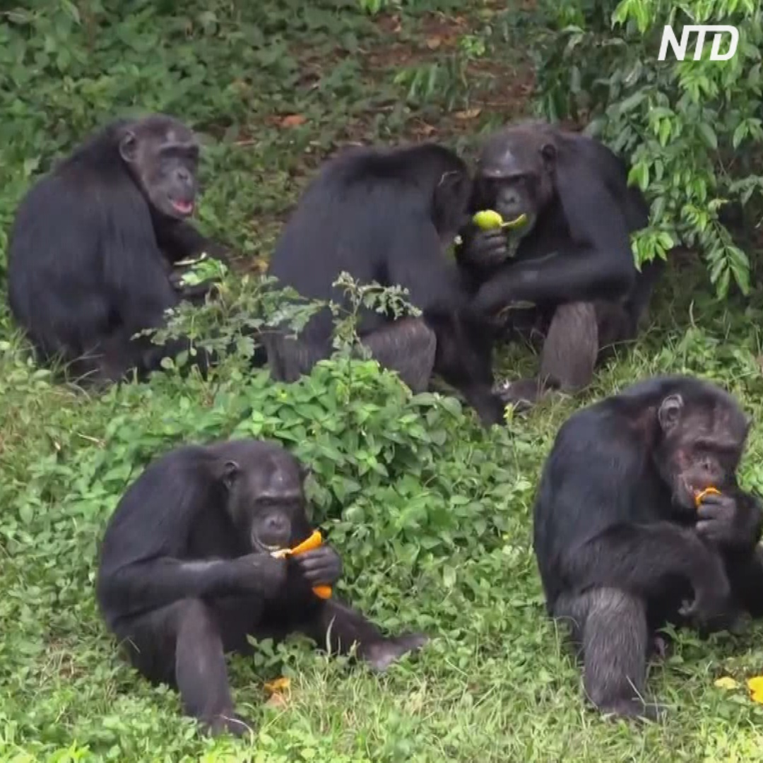 Заповедник шимпанзе посреди озера: как в Уганде оберегают приматов