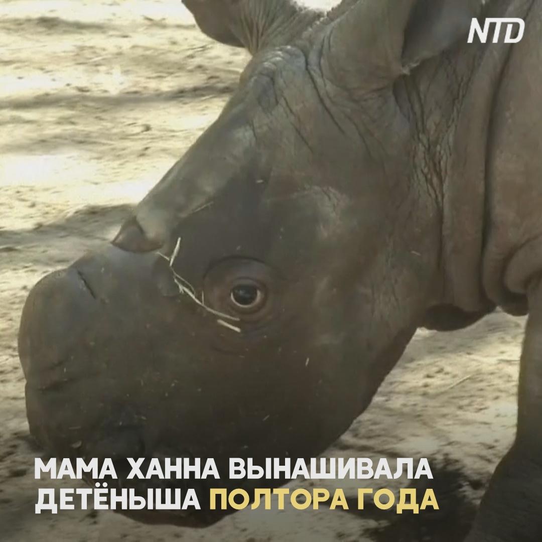 Второй раз за свою историю зоопарк в Чили празднует рождение белого носорога