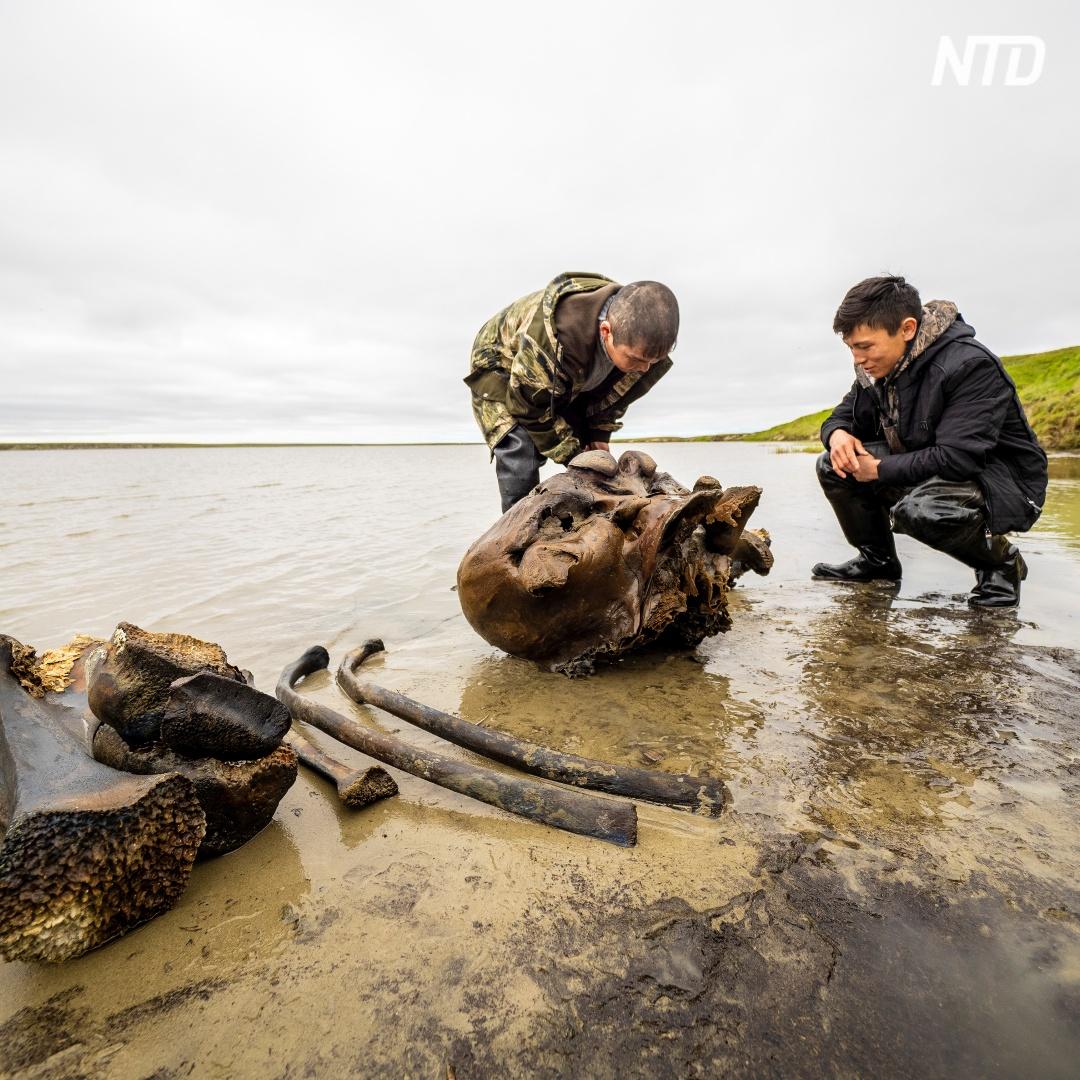 Останки мамонта выкапывают на полуострове Ямал