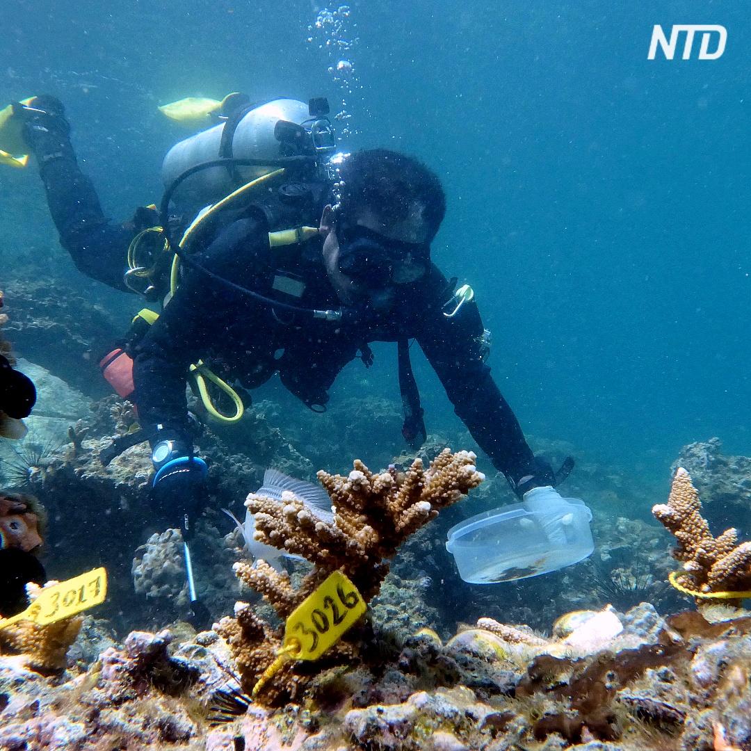 В ОАЭ высаживают кораллы, чтобы спасти исчезающий риф