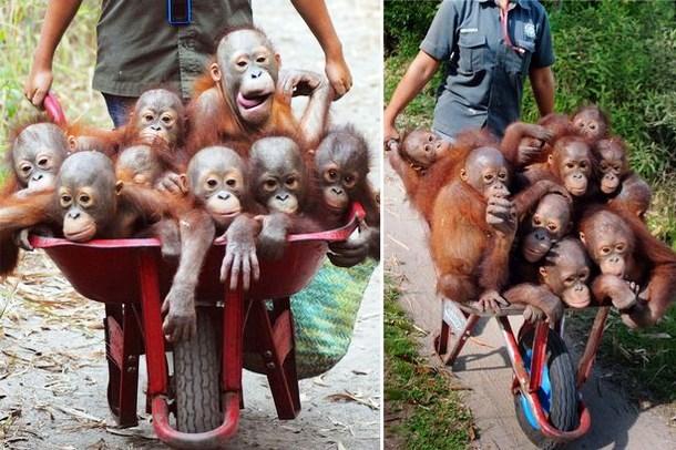 Осиротевших малышей орангутанов отправляют на реабилитацию