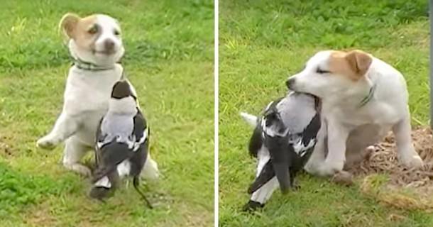 Необычная дружба сороки и собаки. Весёлое видео