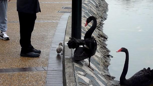 Чёрные лебеди пытаются уговорить птенца плавать