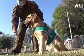В Чили служебных собак учат обнаруживать у людей коронавирус