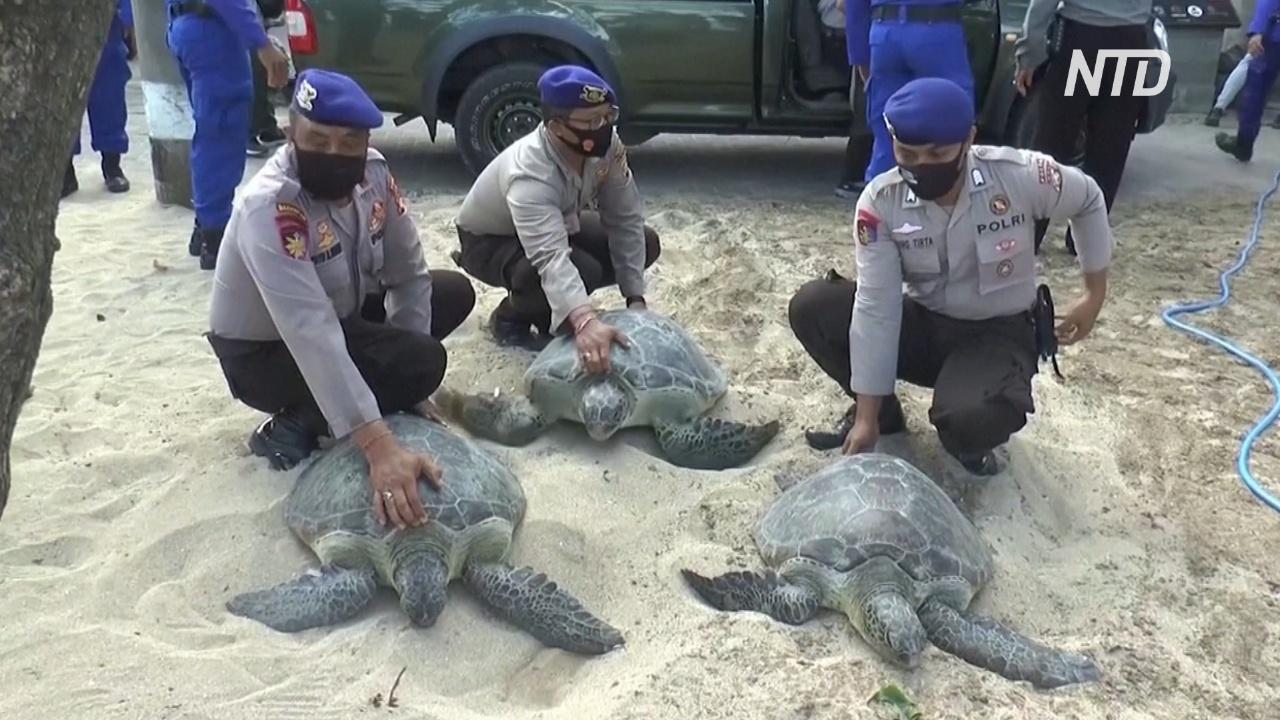 На Бали спасли от браконьеров и выпустили в океан 25 редких зелёных черепах