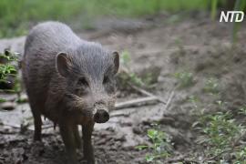 Редким карликовым кабанам в Индии угрожает африканская чума свиней