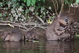 Спустя 400 лет в дикую природу Великобритании возвращаются бобры