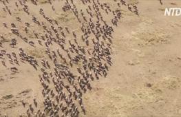 В Кении за миграцией антилоп гну теперь наблюдают местные туристы