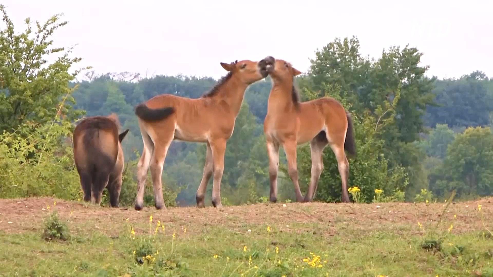 Дикие лошади и зубры восстанавливают биоразнообразие природы в Чехии