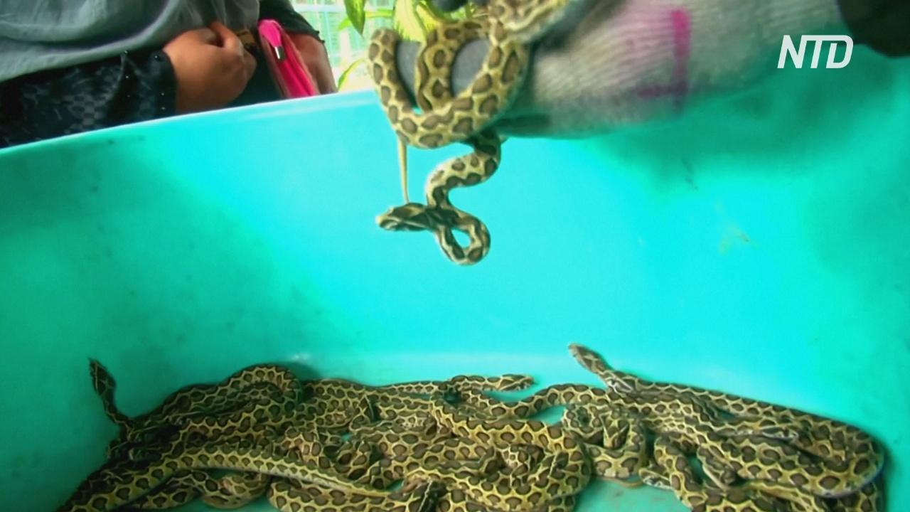 В индийском зоопарке цепочная гадюка принесла 33 детёныша