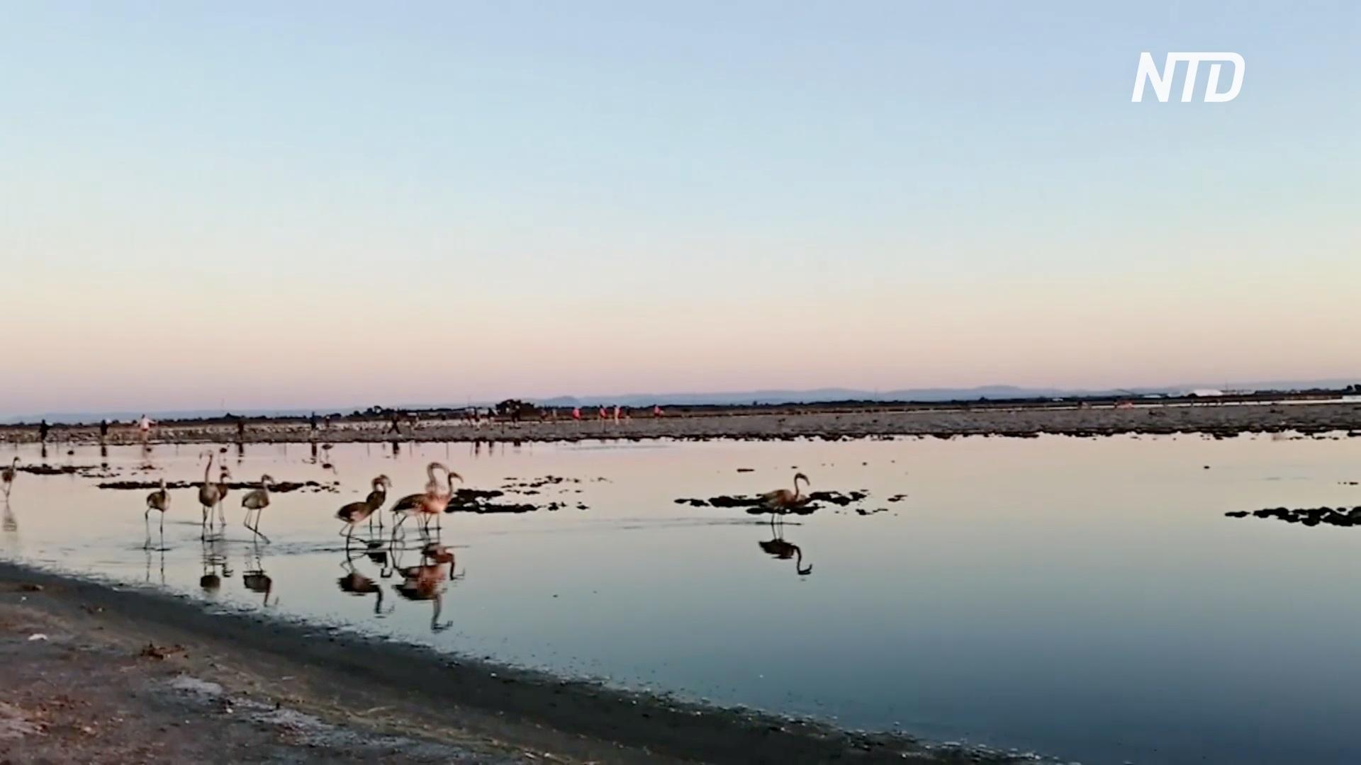 Карантин на пользу: на юге Франции у фламинго родились 12 тысяч птенцов