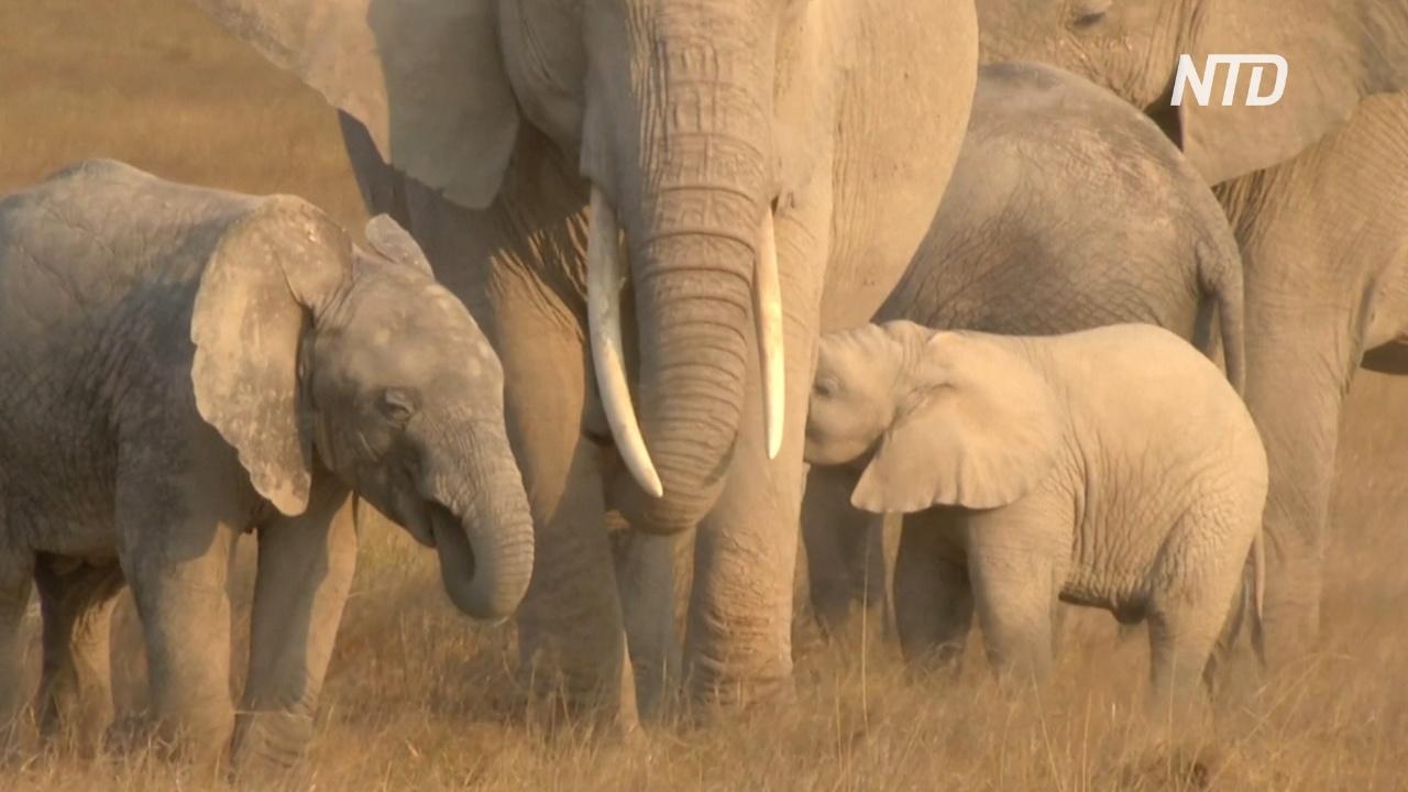 GPS-трекеры помогут защищать слонов в кенийском заповеднике Амбосели