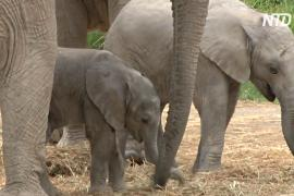 В мексиканском зоопарке у спасённых саванных слонов родились детёныши