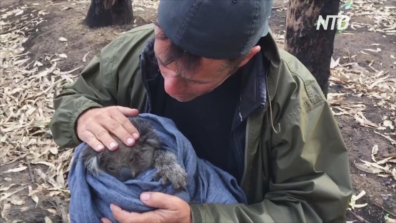 Дрон с инфракрасными камерами даёт надежду на спасение коал в Австралии