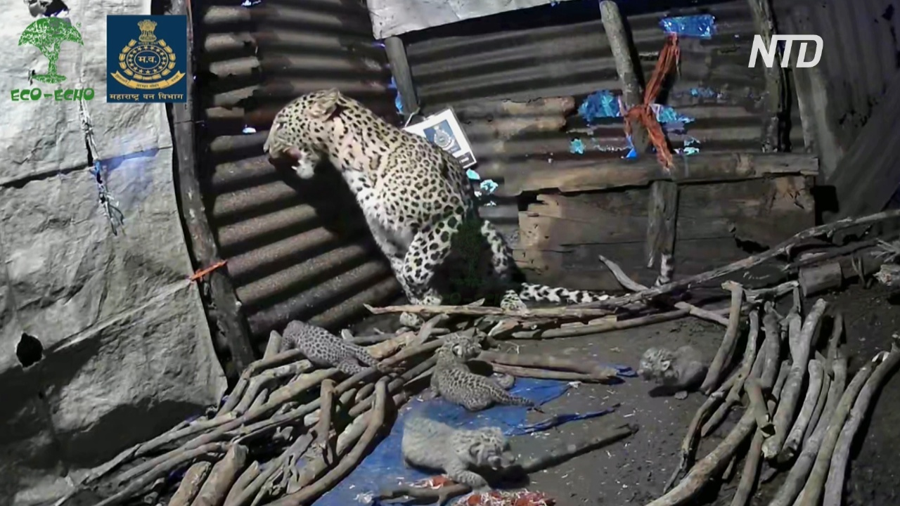 В Индии самка леопарда родила детёнышей рядом с жилым домом