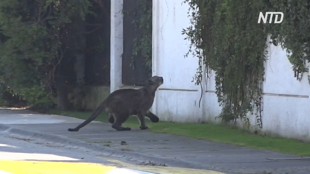 В Сантьяго забрела уже шестая пума