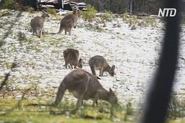 На Австралию неожиданно обрушились снегопады