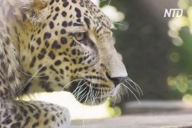 Ещё два выращенных в неволе леопарда поселились в Кавказском заповеднике