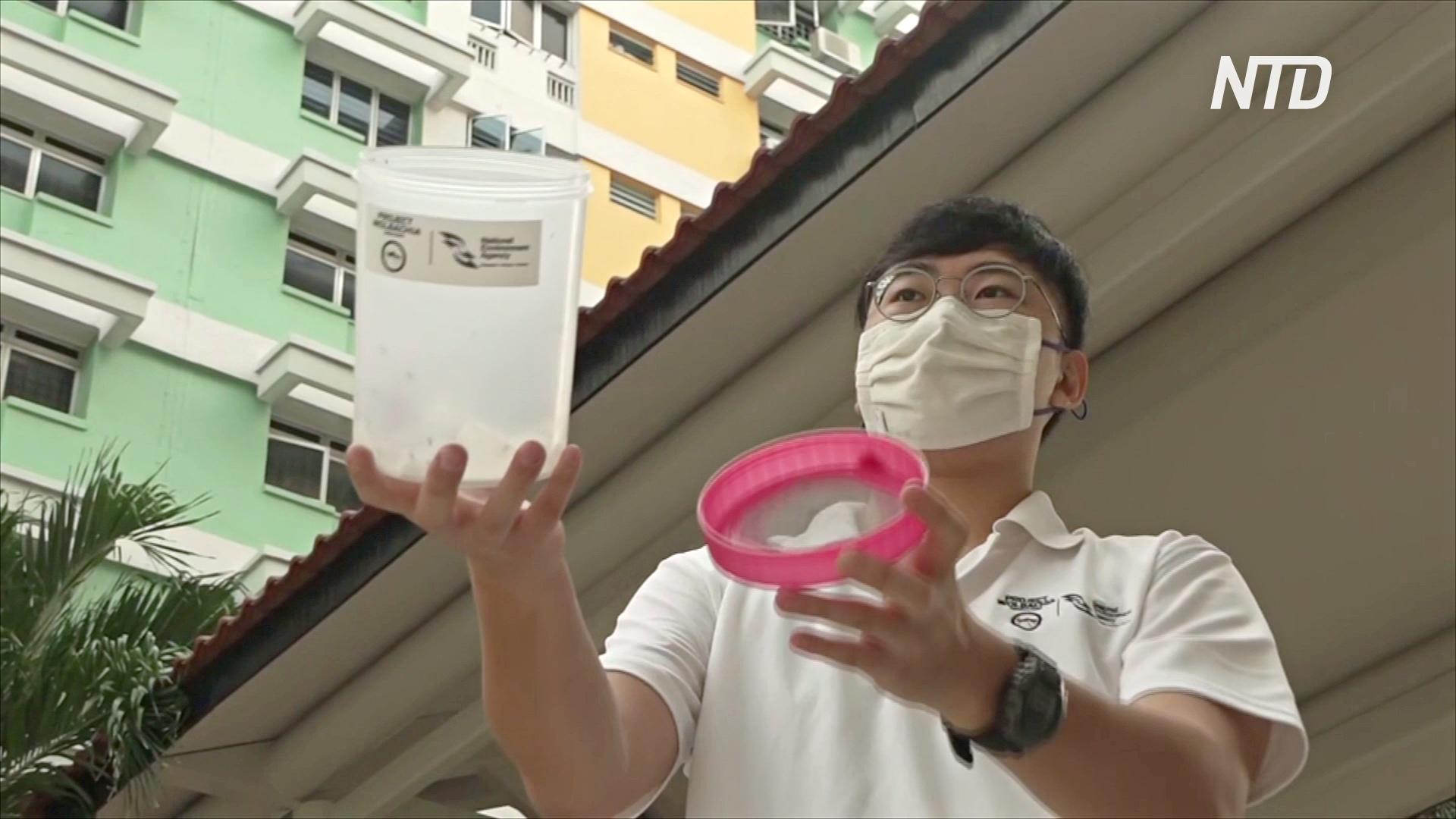 В Сингапуре выпускают лабораторных комаров, чтобы победить рекордную вспышку лихорадки Денге