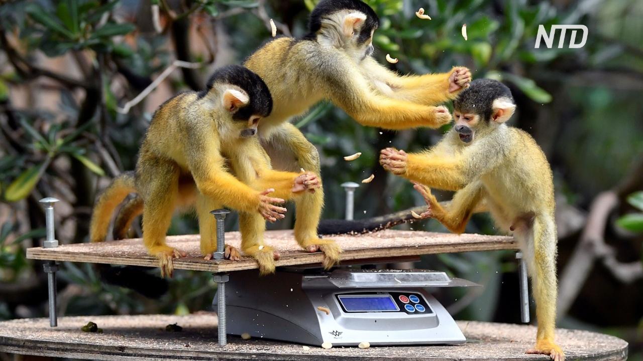 Ежегодное взвешивание животных проходит в Лондонском зоопарке