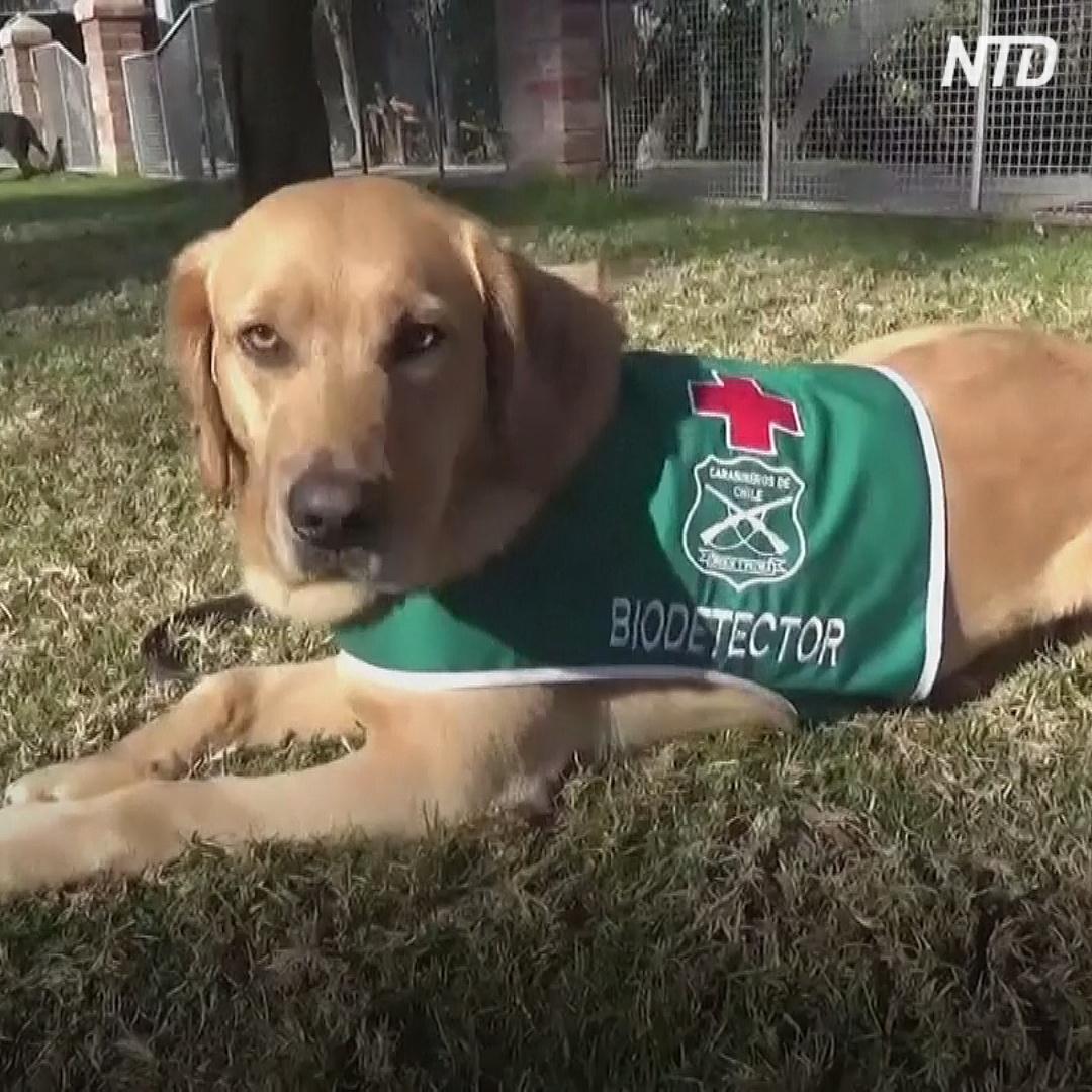 Служебные собаки Чили учатся выявлять COVID-19 у людей