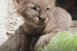 Кем оказался котёнок, которого спас колумбийский фермер