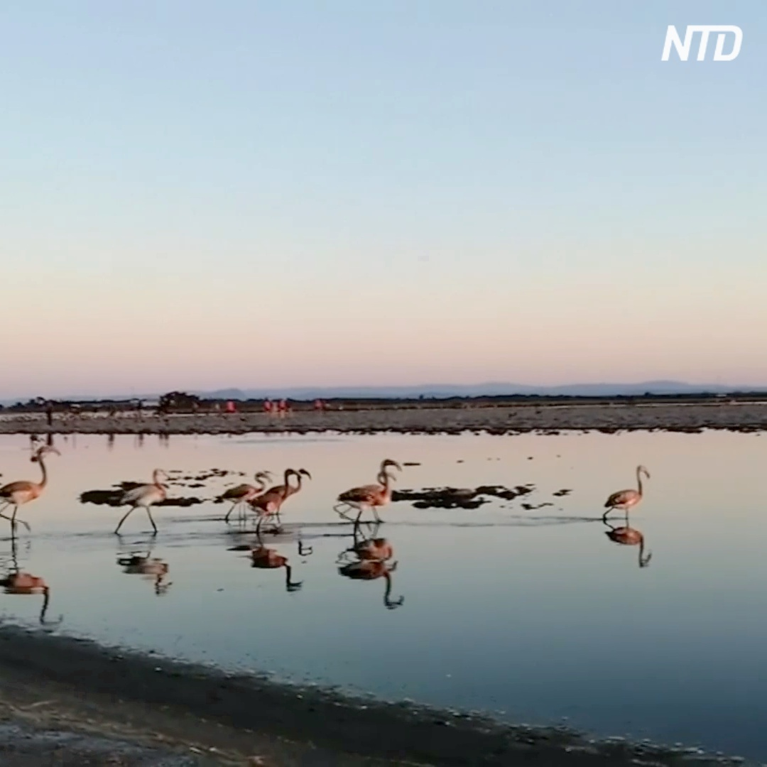 12 тысяч птенцов: фламинго во Франции расплодились благодаря карантину