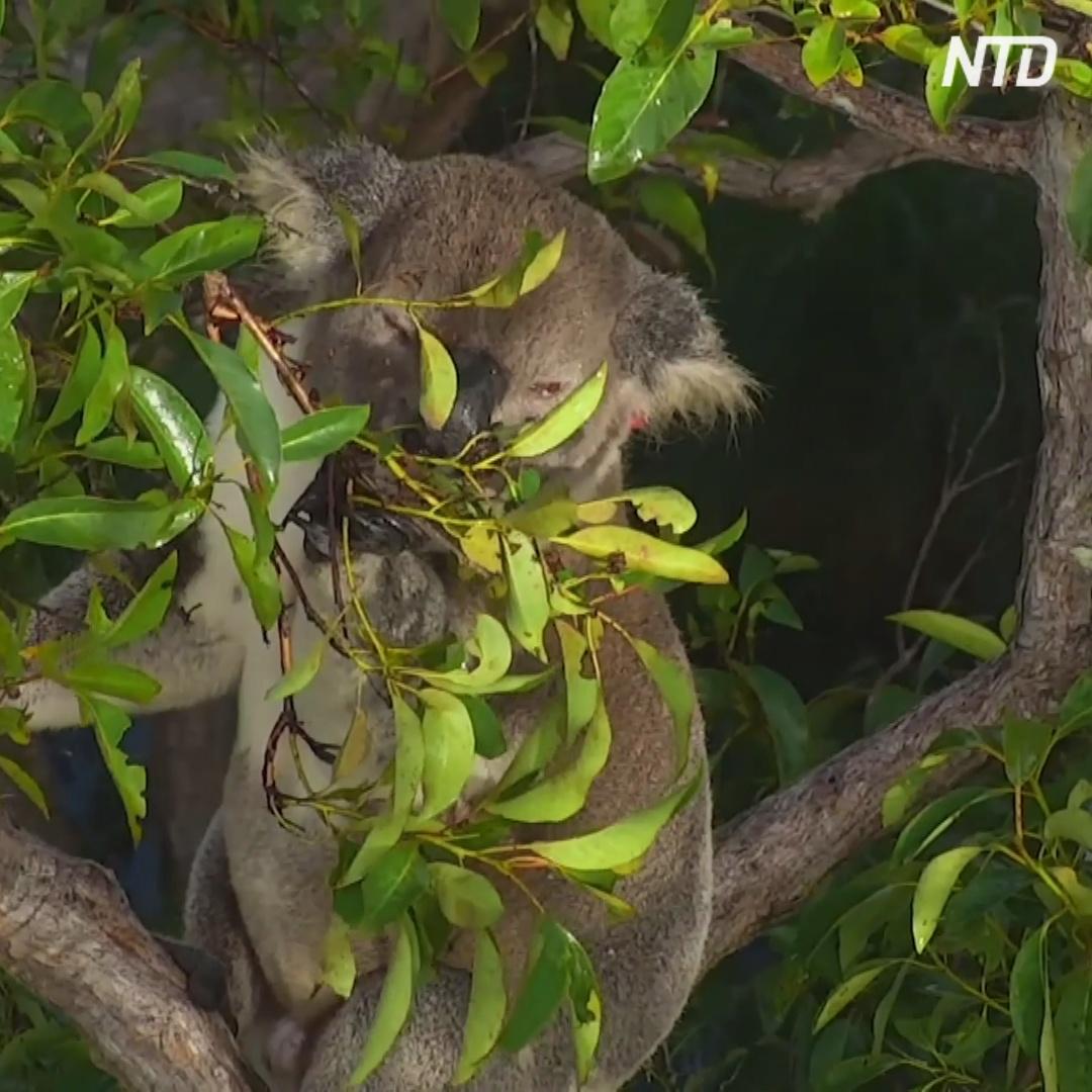 За коалами будет следить дрон с инфракрасными камерами