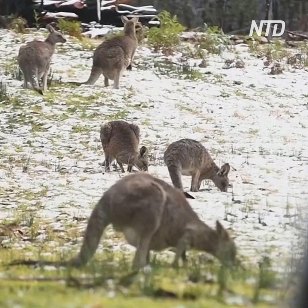 Кенгуру в снегу: на Австралию неожиданно обрушилась зима