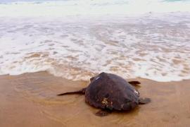 Редкая черепаха после лечения снова погружается в океан