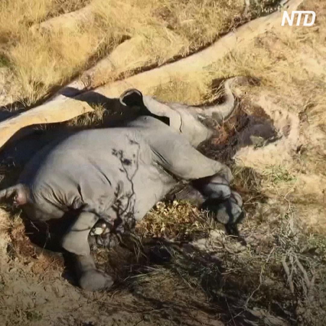 Почему в Ботсване массово гибнут слоны?