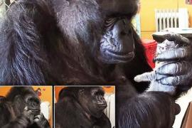Как горилла Коко выбирала детёнышей