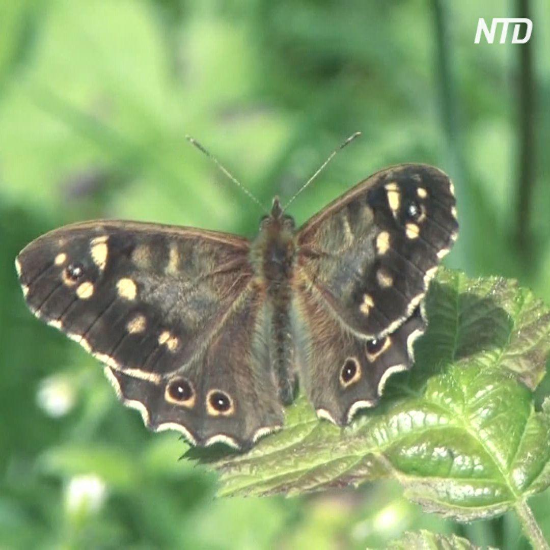 Зоологи-любители помогают в общебританской переписи бабочек